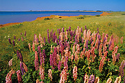 Lupines (Lupinus sp.)<br /><br />Prince Edward Island<br />Canada