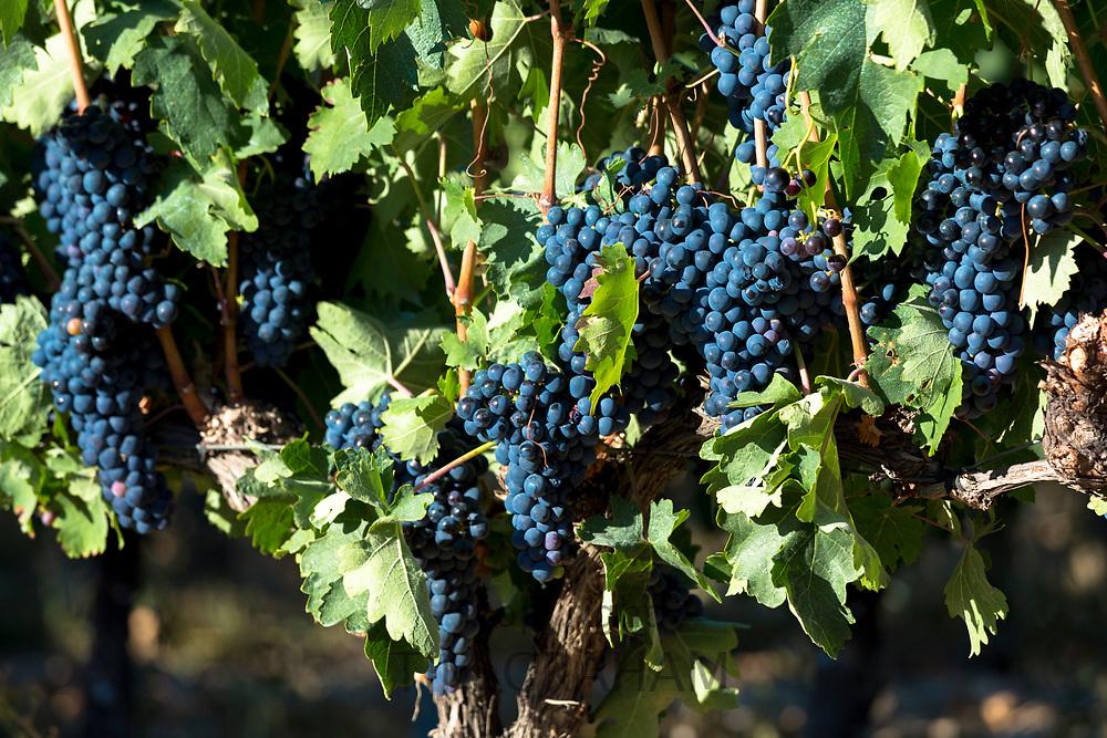 Tempranilla black grapes for Rioja red wine in vineyard in Rioja-Alavesa area of Basque country, Spain