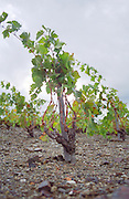 A fairly young vine in a vineyard in Collioure trained in Gobelet (goblet) on a stick on the poor schist soil, Languedoc-Roussillon, France