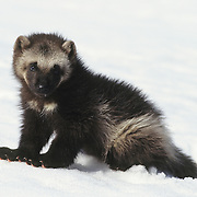 Wolverine kit in the snow during early spring in the Rocky Mountains of Montana. Captive Animal