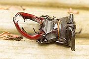 Decapitated stag beetle (Lucanus cervus). Surrey, UK.