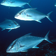 Almaco Jank inhabit open water in Tropical West Atlantic, also circumtropical; picture taken Nassau, Bahamas.