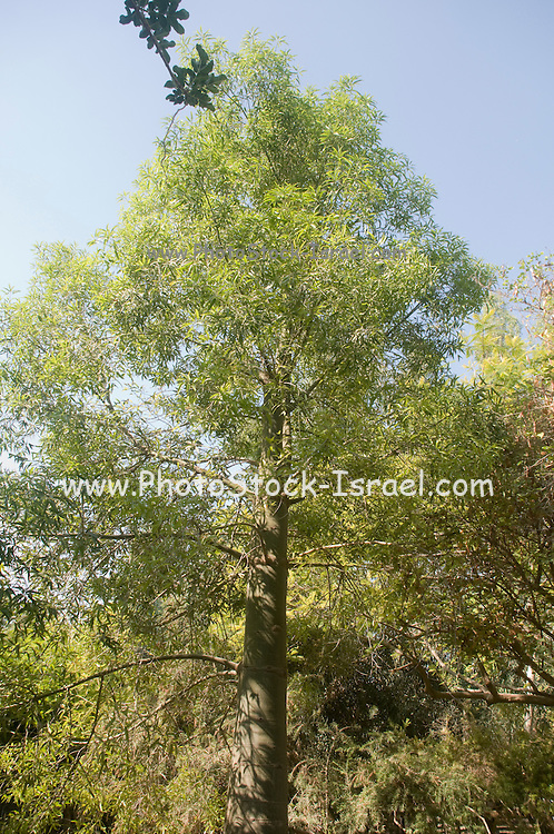 Queensland Bottle Tree (Brachychiton rupestris)