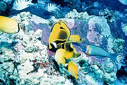 butterflyfishes and wrass feeding frenzy on eggs, (purplish patches on rocks) of Hawaiian sergeant major, Abudefduf abdominalis, endemic, Kona, Big Island, Hawaii, Pacific Ocean