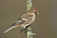 Lesser Redpoll Carduelis flammea L 12-14cm. Well-marked finch. Forms flocks outside breeding season, and mixes with Siskins. Bill is yellow and conical. Sexes are separable. Adult male has streaked grey-brown upperparts, darkest on back. Underparts are pale but dark-streaked. Note red forecrown, black bib and lores, white wingbar, pale, streaked rump and often pinkish flush to the breast. Adult female and juveniles are similar but lack pinkish flush to breast. Voice Utters a rattling chek-chek-chek call in flight. Song is wheezing and rattling. Status Widespread and fairly common. Breeds in birch woodland and favours birches and Alders in winter.