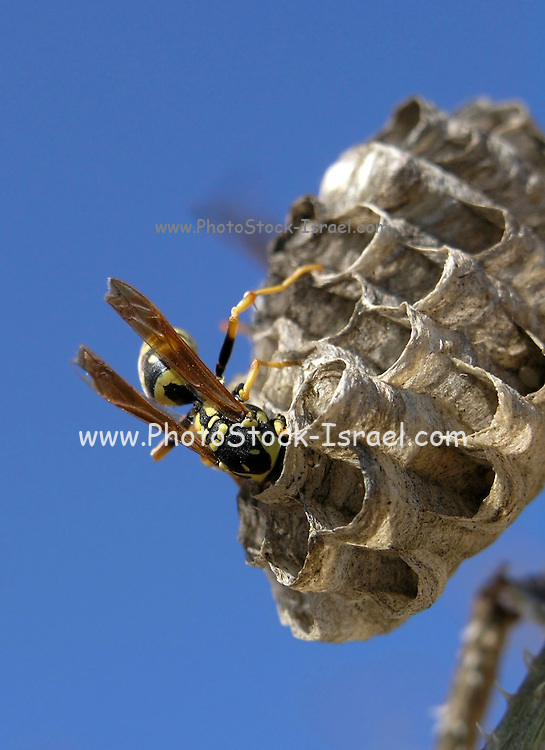 European paper wasp (Polistes dominula) at its nest Photographed in Israel in December