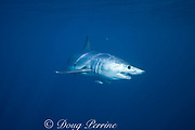 shortfin mako shark, Isurus oxyrhinchus, accompanied by pilot fish, Naucrates ductor, King Bank, North Island, New Zealand ( South Pacific Ocean )