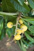 Israel,  loquat tree Eriobotrya japonica with fruit, April 2007