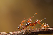 An imported red fire ant (solenopsis invicta) worker. Texas.