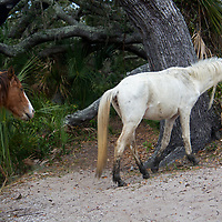 USA, Georgia, Cumberland Island. Feral horses roam Cumberland Island.