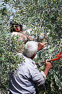 Zababdeh, West Bank, Palestine - October 23, 2010: Majid Monsour Dabis harvests olives with the help of family members on the outskirts of the town of Zababdeh.