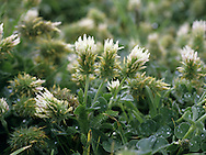 LONG HEADED/LIZARD CLOVER Trifolium incarnatum molinerii. Height to 30cm. Robust, downy annual with pale pink flowers in cylindrical heads, 3-4cm long (May-June). Locally common on the coast, especially around the lighthouse. It also grows on Jersey.