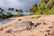 A honu on the North Shore of Oahu.