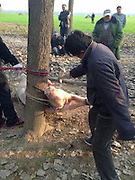 Toddler is mauled to death and EATEN by a pig after crawling into its pen in China<br /> <br /> A toddler in China has been killed and partially eaten by a pig after crawling into the animal's pen while his parents' backs were turned.<br /> Two-year-old Wei Tsao, known affectionately as Keke, had been playing in the garden of his parents' house, in eastern China's Jiangsu Province, when they went inside for a moment.<br /> Left to his own devices Wei crawled into the pig pen where the protective sow mauled him to death in an attempt to protect her newborn piglets, before she began chewing on his head.<br /> <br /> <br /> Hearing their child's screams, the parents rushed back outside but found they were too late.<br /> <br /> Distraught father Sun Tsai, 25, said: 'We had popped inside for just a couple of minutes when we heard the screams.<br /> <br /> <br /> When we came out we saw the pig about 80 metres away gnawing on Keke's head.'<br /> Other villagers came rushing to the scene where they grabbed the pig and tied it to a tree before killing it and cutting its stomach open.<br /> Inside they found fragments of Keke's skull and hair, which they showed to authorities to prove the pig had killed him. <br /> <br /> Village leader Cheng Yuan, 62, said: 'This is a horrible tragedy. We had to cut the pig open, not as an act of revenge but to prove to the authorities that it had indeed killed and eaten Keke.'<br /> A police spokesman said: 'Sows are often docile creatures but pregnant pigs and ones who have just given birth can be very protective and turn aggressive towards anything they consider to be a threat to their piglets.<br /> 'We urge farmers to keep their pigs in their pens.'  <br /> ©Exclusivepix