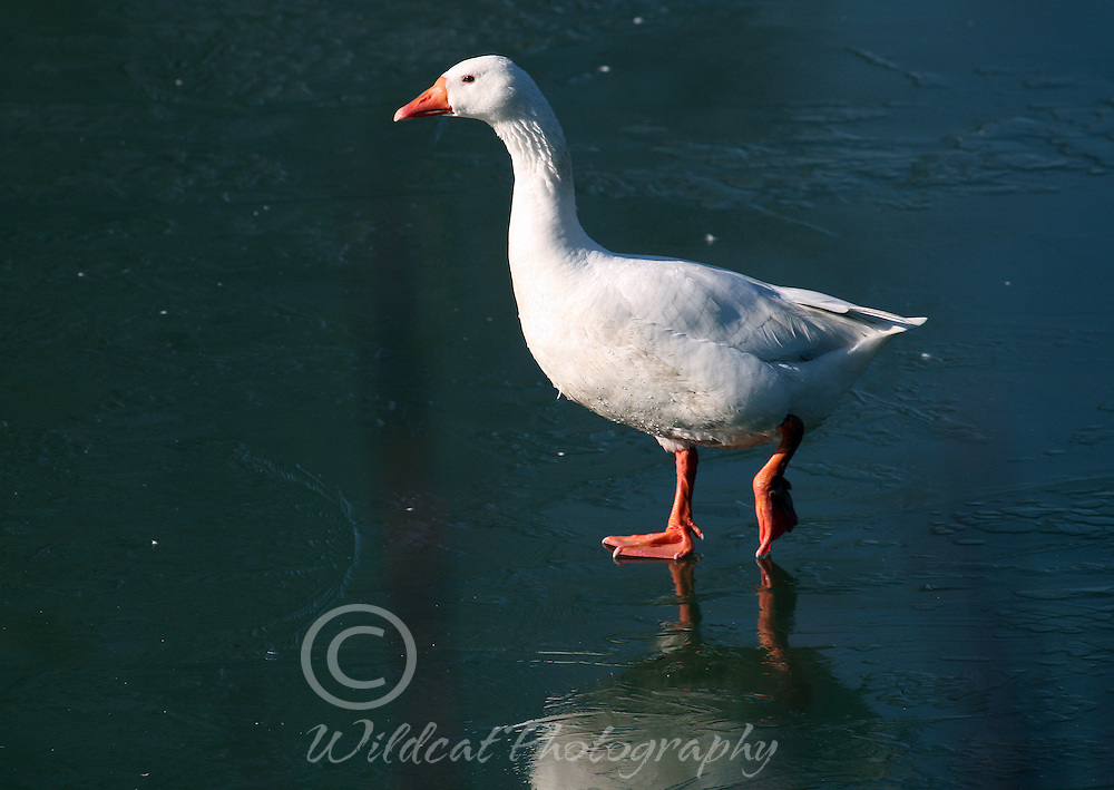 White goose standing on ice.