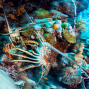 Two Caribbean spiny lobster (Panulirus argus) battle for territory in the Exuma Cays Land and Sea Park, a Marine Protected Area, Bahamas