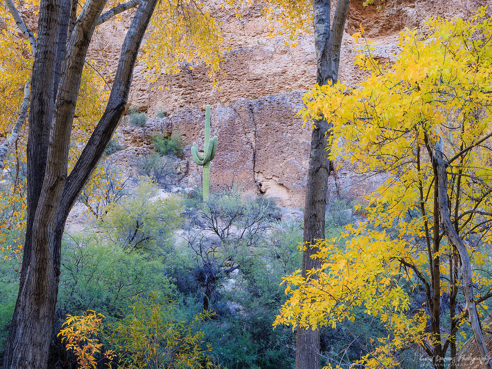 A lone saguaro stands among cottonwood, willow, and ash in Autumn yellow.