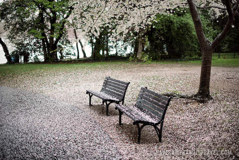 Park benches next to the Tidal Basin in Washington DC are covered in a layer of pink and white petals as the cherry blossoms finish their bloom.