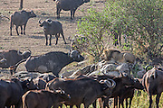Cape buffalo surround a large male lion on the Serengeti plains of East Africa