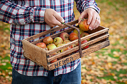 Carrying a trug of harvested apples in autumn - Malus domestica