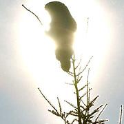 Great Gray Owl (Strix nebulosa) perched in tree, Silhouette. Northern Minnesota. January. Winter.