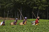 Kenya, Kericho county, Kericho, cueillette du thé // Kenya, Kericho county, Kericho, tea picker picking tea leaves