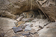 Bengal Tiger<br /> Panthera tigris <br /> Four week old cubs at den <br /> Bandhavgarh National Park, India