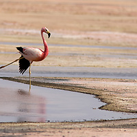 One of the most beautiful animal found in the saltflat of Atacama is the elegant andean flamingo. There are three types of flamingos living in this area.