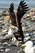 An adult bald eagle prepares to take off after feasting on fish scraps on the beach at Anchor Point, Alaska.