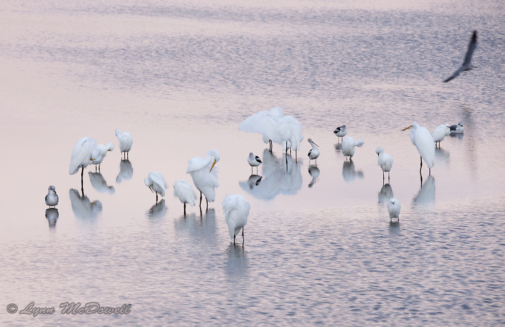 Mixed flock of Avocet and Egrets preening in beautiful evening light over reflecting water