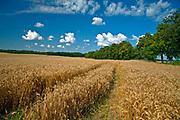 2009-08-09. Mazurski krajobraz - łany zboża- okolice Kętrzyna