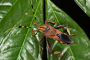 Big-legged Bug or Squash Bug (Coreidae)<br /> Yasuni National Park, Amazon Rainforest<br /> ECUADOR. South America