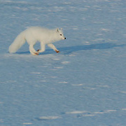 Arctic Fox (Alopex lagopus) Along the ice edge of Hudson Bay, Cape Churchill, Manitoba, November. Canada. Winter.