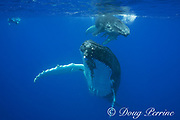 snorkeler and humpback whale, Megaptera novaeangliae, mother and calf, Vava'u, Kingdom of Tonga, South Pacific; both mother and baby have remoras, or shark suckers attached to underside