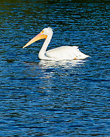 American White Pelican (Pelecanus erythrorhynchos). Fort De Soto County Park. St. Petersburg, Florida. Image taken with a Nikon D700 camera and 28-300 mm VR lens.