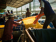 """11 JUNE 2015 - MAHACHAI, SAMUT SAKHON, THAILAND:  Burmese migrant workers at the Samut Sakhon shrimp market unload a truck full of farm raised shrimp. Labor activists say there are about 200,000 migrant workers from Myanmar (Burma) employed in the fishing and seafood industry in Mahachai, a fishing port about an hour southwest of Bangkok. Since 2014, Thailand has been a Tier 3 country on the US Department of State Trafficking in Persons Report (TIPS). Tier 3 is the worst ranking, being a Tier 3 country on the list can lead to sanctions. Tier 3 countries are """"Countries whose governments do not fully comply with the minimum standards and are not making significant efforts to do so."""" After being placed on the Tier 3 list, the Thai government cracked down on human trafficking and has taken steps to improve its ranking on the list. The 2015 TIPS report should be released in about two weeks. Thailand is hoping that its efforts will get it removed from Tier 3 status and promoted to Tier 2 status.        PHOTO BY JACK KURTZ"""