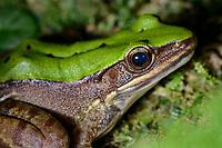 Green cascade frog, Victoria Peak, Hong Kong, China. 大绿蛙,太平山,中国香港。