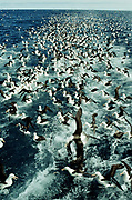 Black-browed Albatross behind fishing trawler<br />Diomedea  melanophris<br />SOUTH ATLANTIC