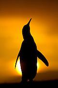 Ein männlicher Königspinguin (Aptenodytes patagonicus) richtet sich hoch auf, um mit einem lauten Ruf seinen Konkurrenten zu imponieren.   A male king penguin (Aptenodytes patagonicus) stands tall and calls during display.