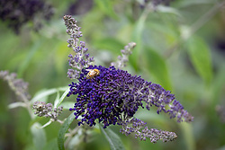 Bee on Buddleia davidii 'Buzz Indigo'
