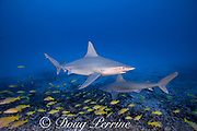 sandbar sharks, Carcharhinus plumbeus, with parasitic copepods on their heads, swim over a coral reef with a school of bluestripe snapper or taape, Lutjanus kasmira, Honokohau, North Kona, Hawaii (the Big Island),  United States ( Central North Pacific Ocean )