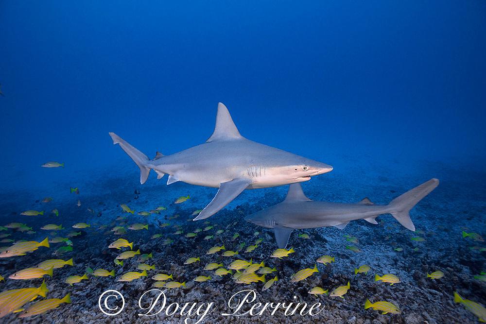 sandbar sharks, Carcharhinus plumbeus, with parasitic copepods on their heads, swim over a coral reef with a school of bluestripe snapper or taape, Lutjanus kasmira, Honokohau, North Kona, Hawaii (the Big Island),  United States ( Central North Pacific Ocean )