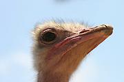 ostrich,