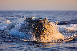 Humpback Whale in competitive group, head-lunging, Megaptera novaeangliae, Hawaii, Pacific Ocean.