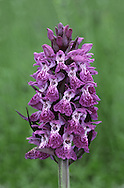 WESTERN MARSH-ORCHID Dactylorhiza majalis (Orchidaceae) Height to 60cm. Robust orchid of damp meadows, often on calcareous soils. FLOWERS are magenta to pinkish purple, with a broad lip, the side lobes of which are broader than prominent central one; in spikes (May-Jul). FRUITS are egg-shaped. LEAVES are elliptical and usually dark-spotted; basal leaves are broad but those on the stem narrower and sheathing. STATUS-Local and mainly coastal in Ireland; very local in W Wales.