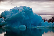 Two Arctic Terns fight off a Long Tailed Skua by a blue iceberg in Kongsfjord, near the Arctic scientific research base of Ny-Alesund, Svalbard<br />