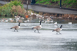 © Licensed to London News Pictures. 01/02/2019. Chislehurst, UK. Three Canadian geese walk across the ice. Chislehurst ponds on Chislehurst Common in South East London is frozen over with ice. Freezing cold weather conditions today after the coldest night in the UK for seven years. Photo credit: Grant Falvey/LNP