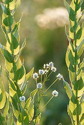 Wildflowers, Blackland Prairie, High Point Park and Wildflower Preserve, Farmersville, Texas, USA.