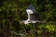 Cocoi Heron (Ardea cocoi)<br /> Savannah<br /> Rupununi<br /> GUYANA. Argentina, Bolivia, Brazil, Chile, Colombia, Ecuador, French Guiana, Guyana, Panama, Paraguay, Peru, Suriname, Uruguay, and Venezuela. It is a non-breeding visitor to Trinidad and Tobago and a vagrant to the Falkland Islands and Tristan da Cunha.