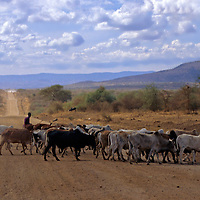 Africa, Tanzania. Maasai herdsman and cattle crossing the road out of Arusha.